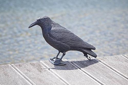 Raven sitting