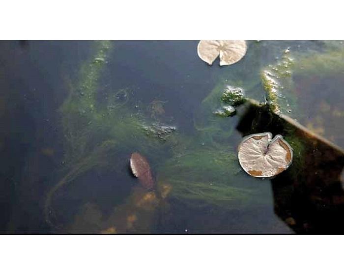 Diệt tảo- một trong những cách lọc đáy hồ cá hiệu quả