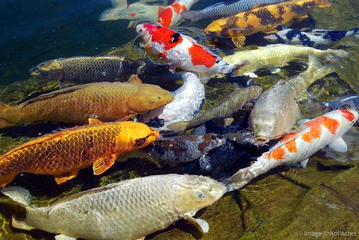 Lọc hồ cá Koi ảnh hưởng đến độ pH trong nước như thế nào?