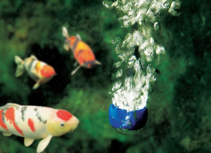 Những vấn đề cần quan tâm khi chăm sóc cá Koi vào mùa hè