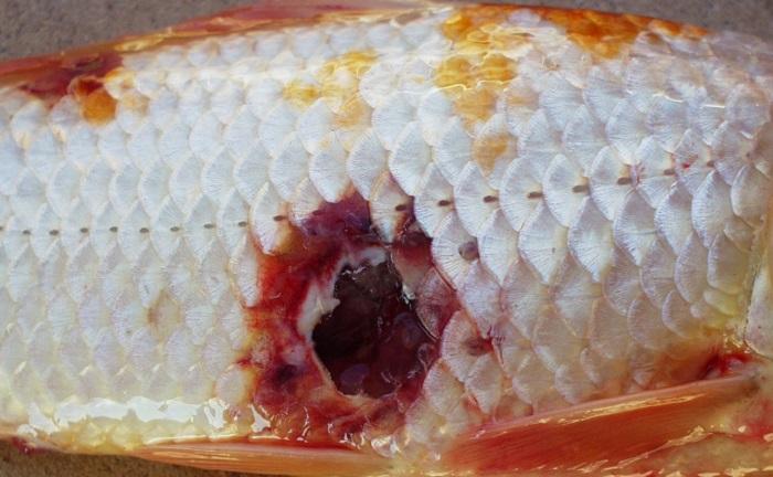 Các loại bệnh thường gặp ở cá Koi