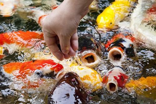 Chăm sóc cá Koi vào mùa lạnh